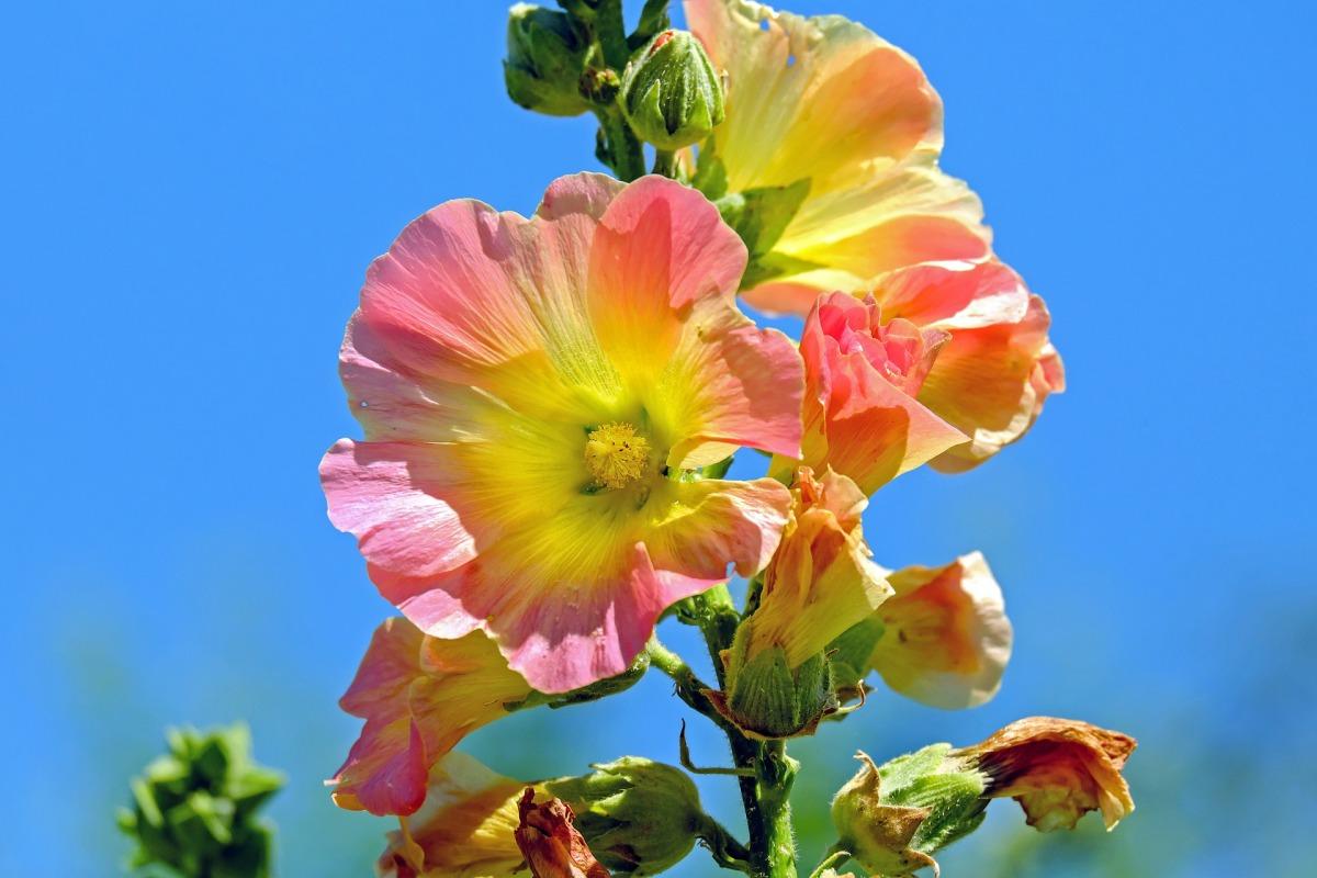 stock-rose-1525145_1920.jpg